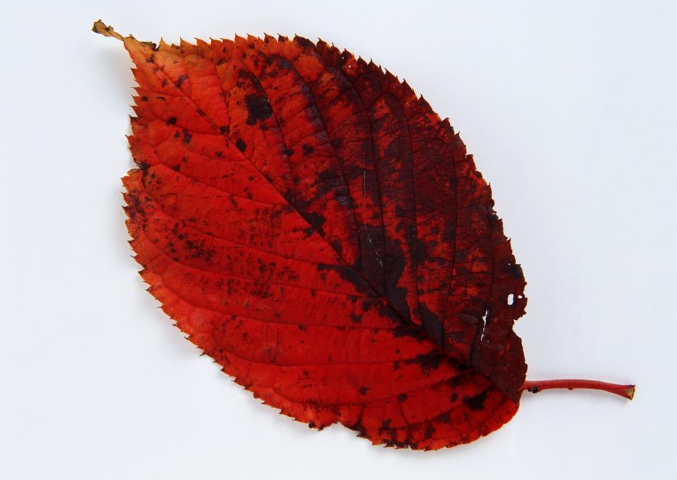 colorful autumnal leaf isolated on white background