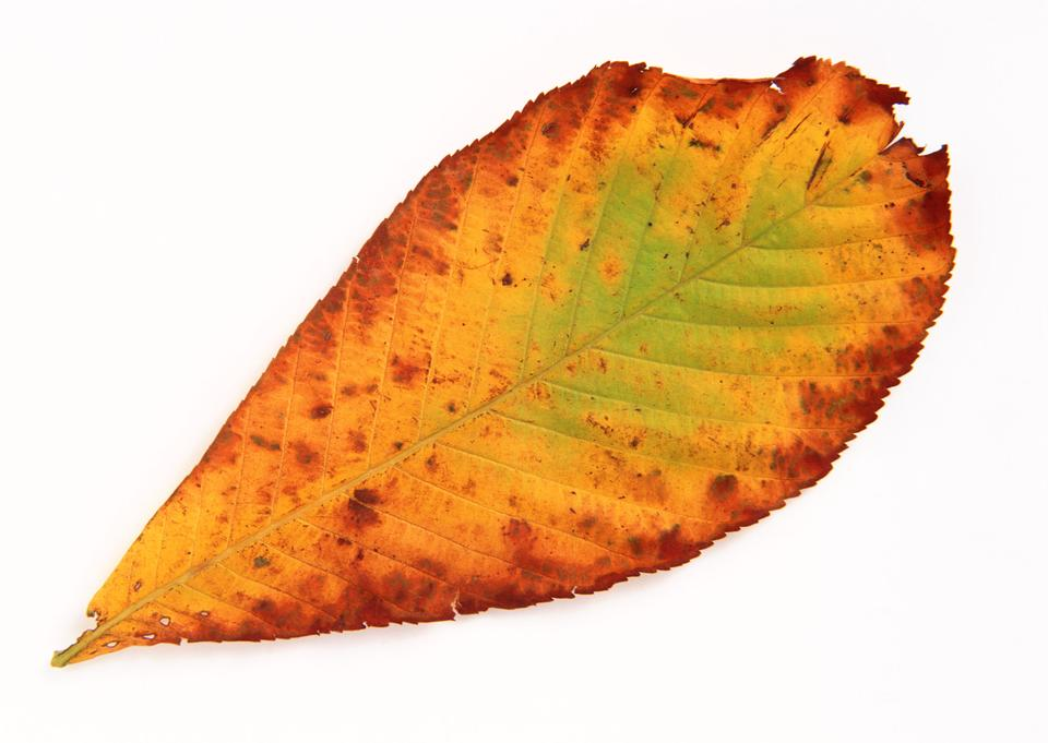yellow autumn leaf isolated on white