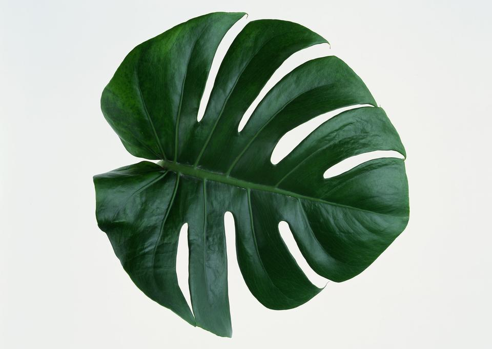 Leaf of Monstera