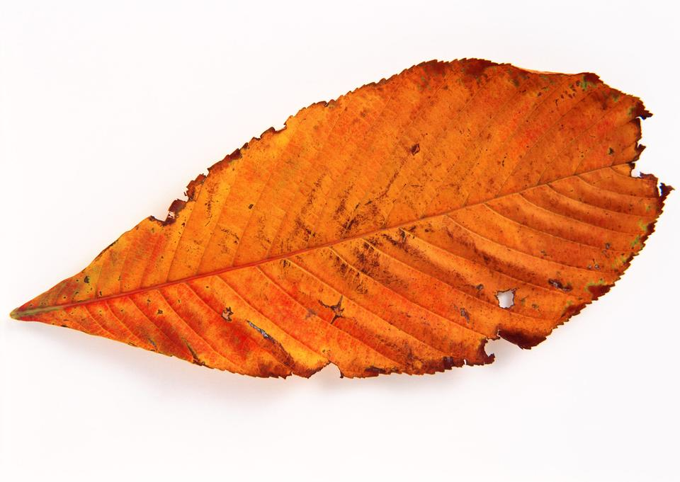 Golden isolated fallen cherry leaf