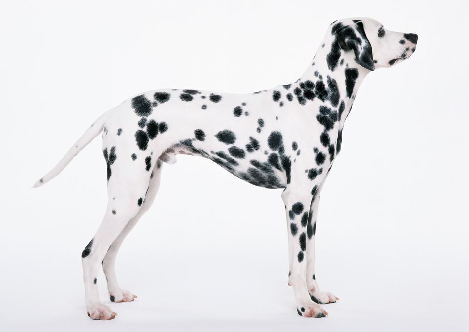 白で隔離立ちダルメシアン犬