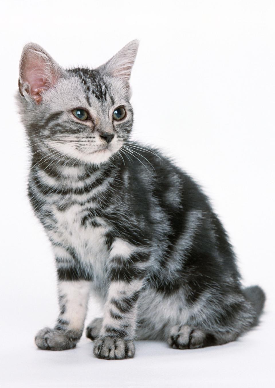 Mignon chaton tigré isolé sur blanc