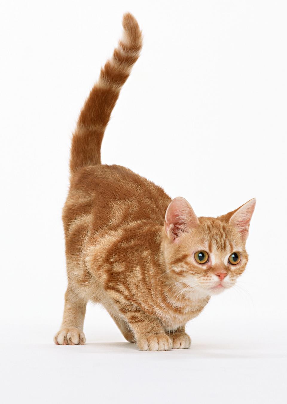 Gatto isolato su sfondo bianco
