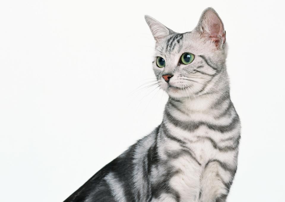 在白色背景小猫