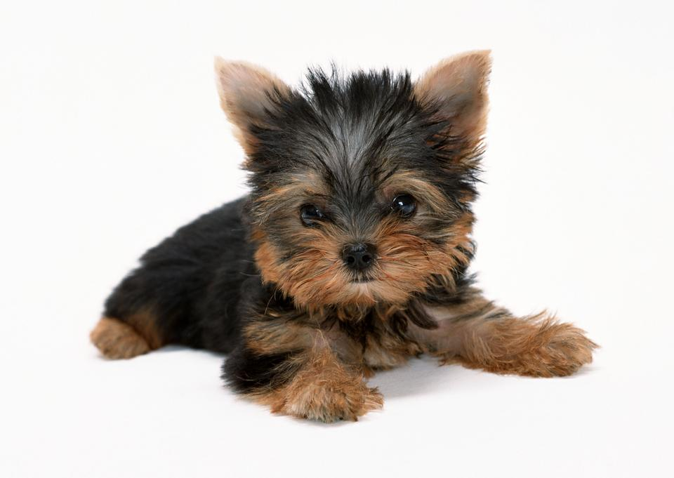 Yorkshire Terrier chiot
