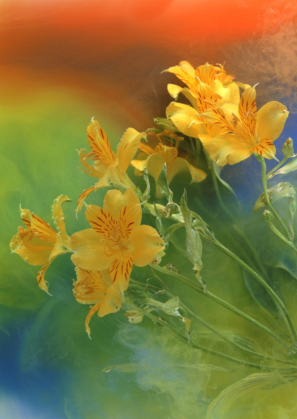 Ditch Daylily, Orange Daylily