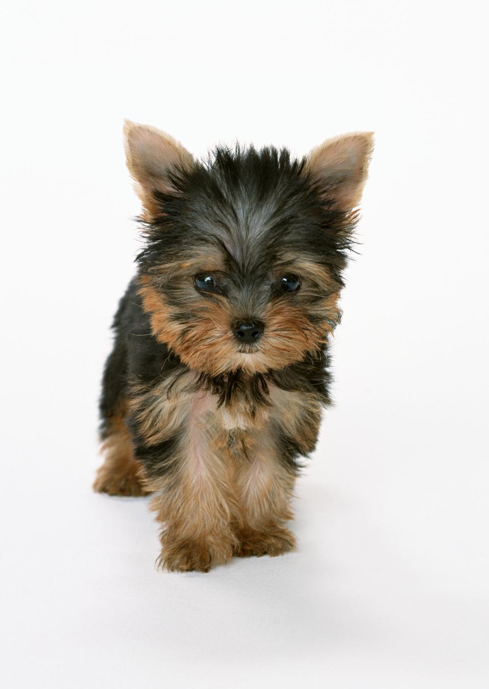Beautiful Yorkshire terrier