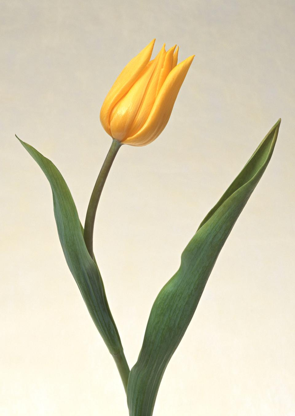 One yellow tulip
