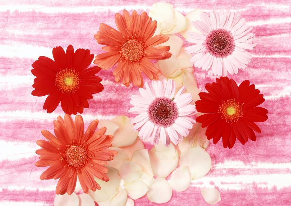 Gänseblümchen Blumen Hintergrund