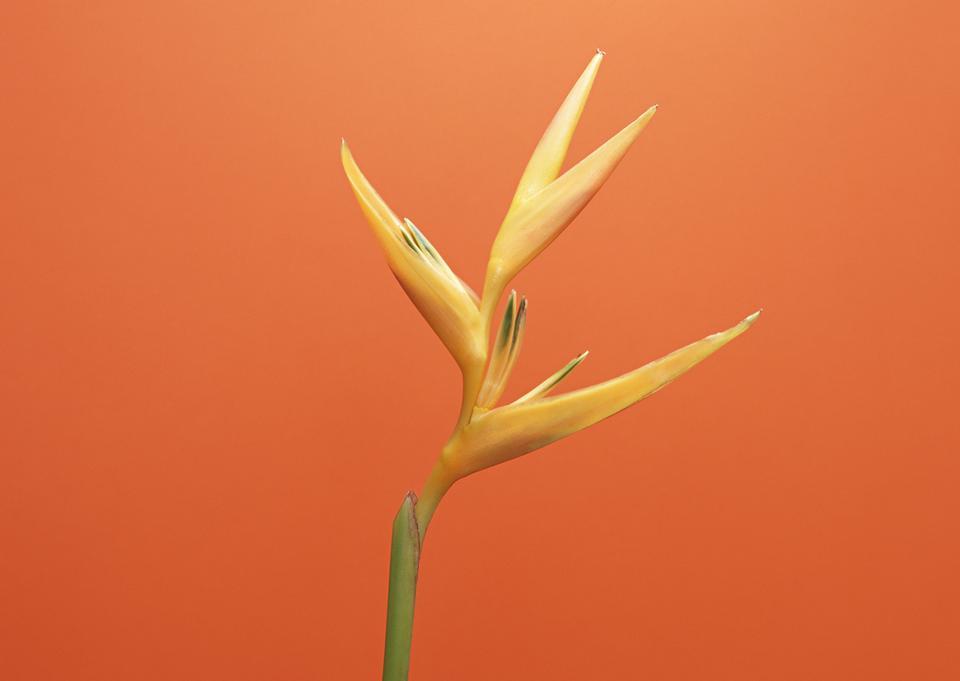 天堂花,从橙红色背景鸟花