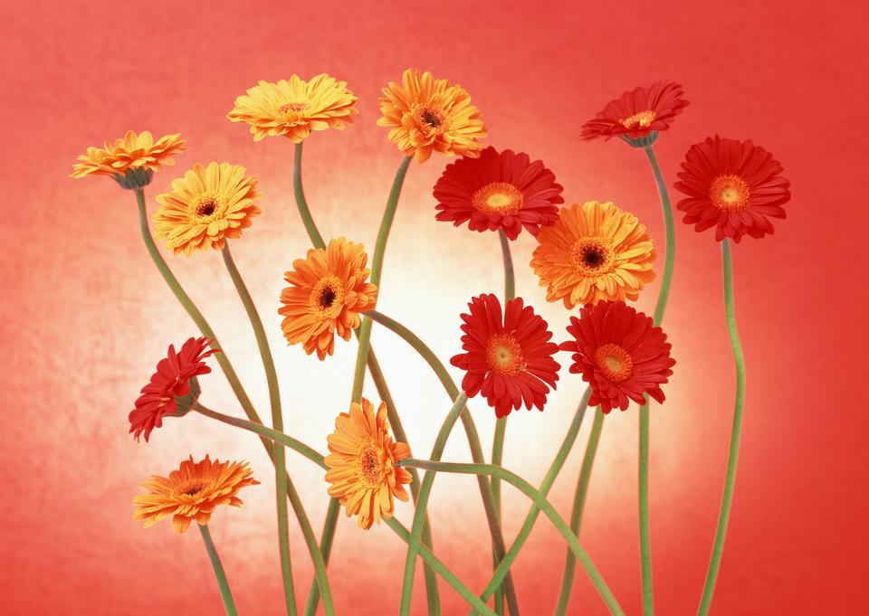 Floral Zweig: Set mix gerber Blumen