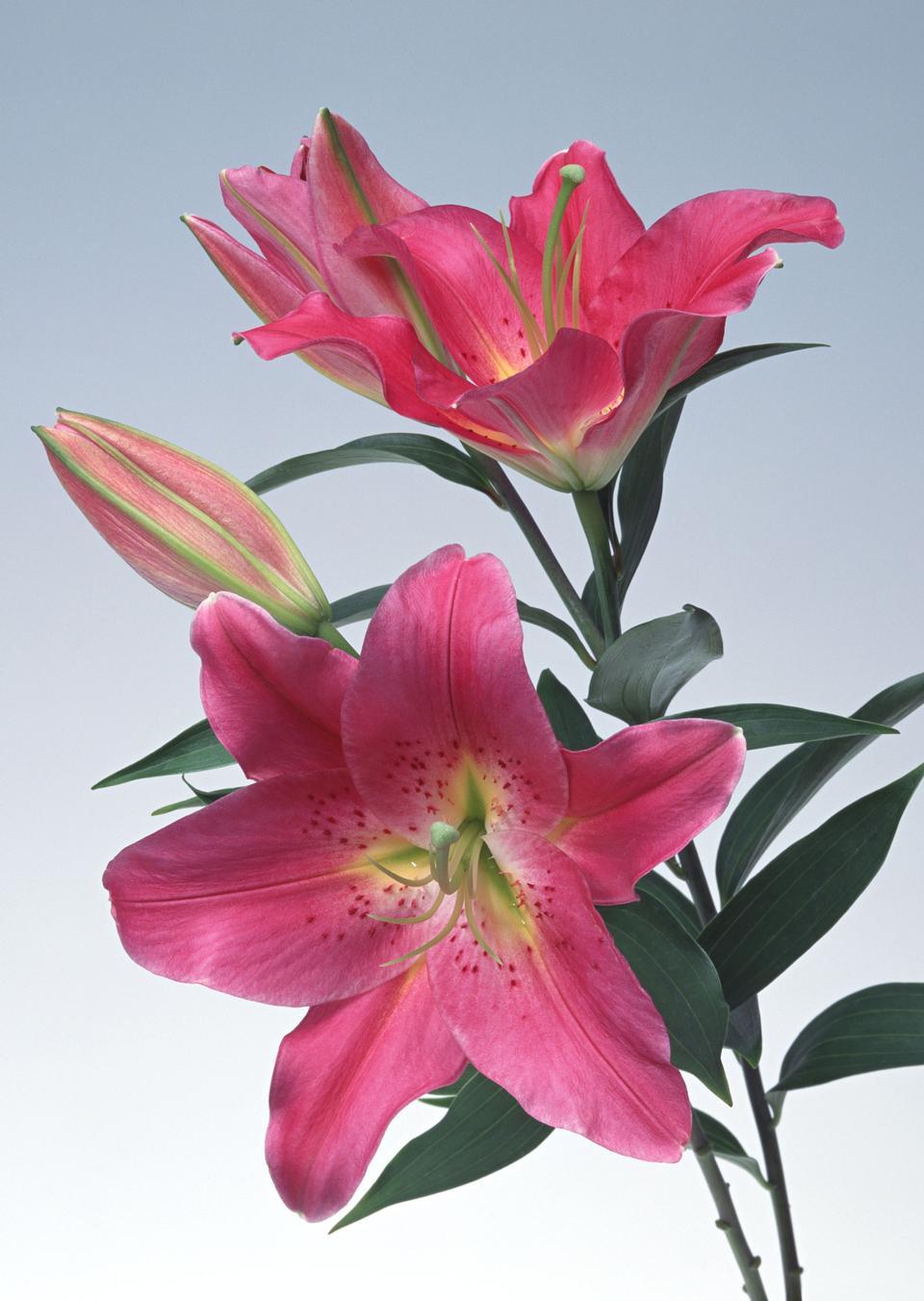 Zephyr Blume, Nahaufnahme. Allgemeine Namen umfassen Fairy Lily