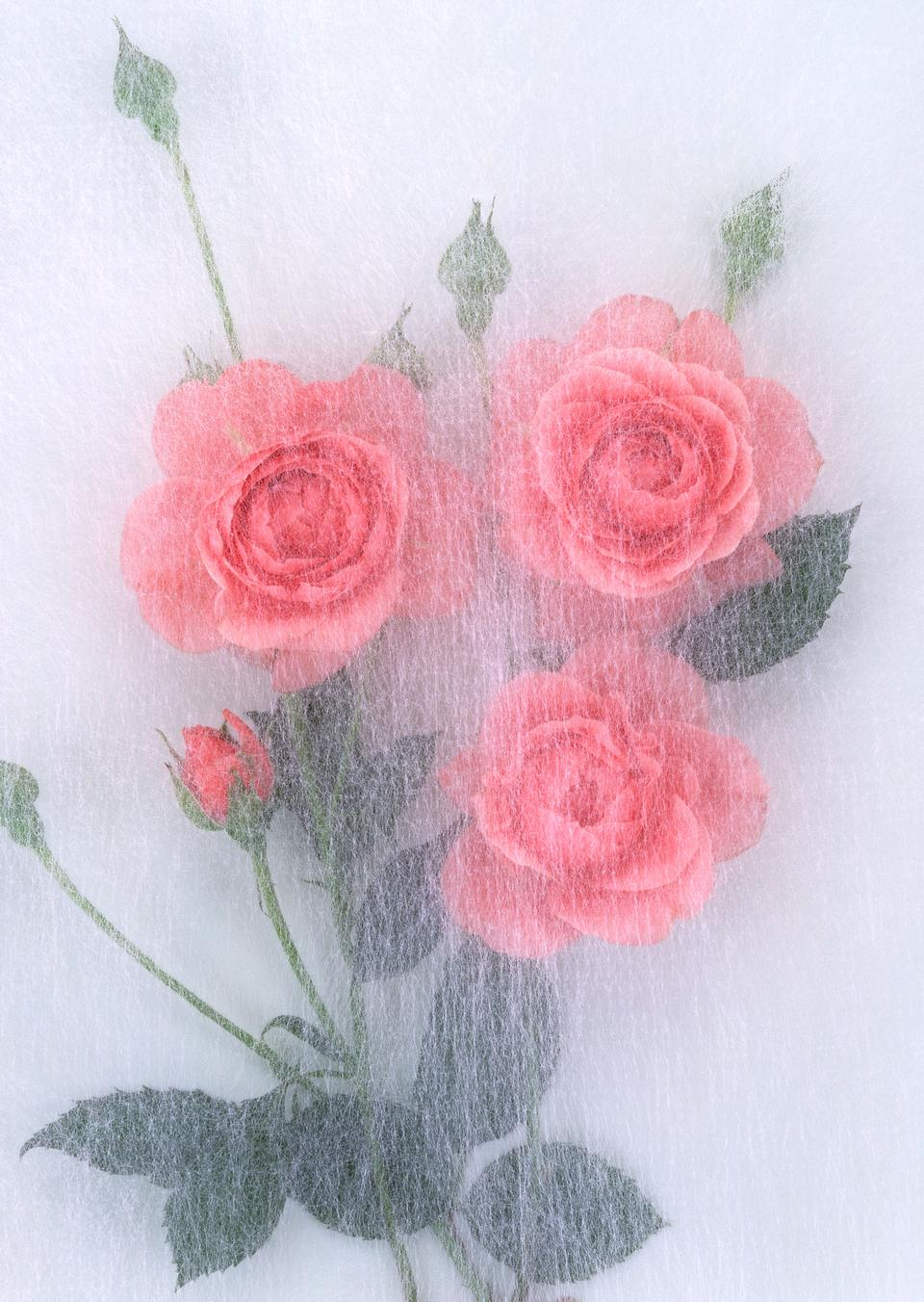 Abstract rose in transparent throw paper