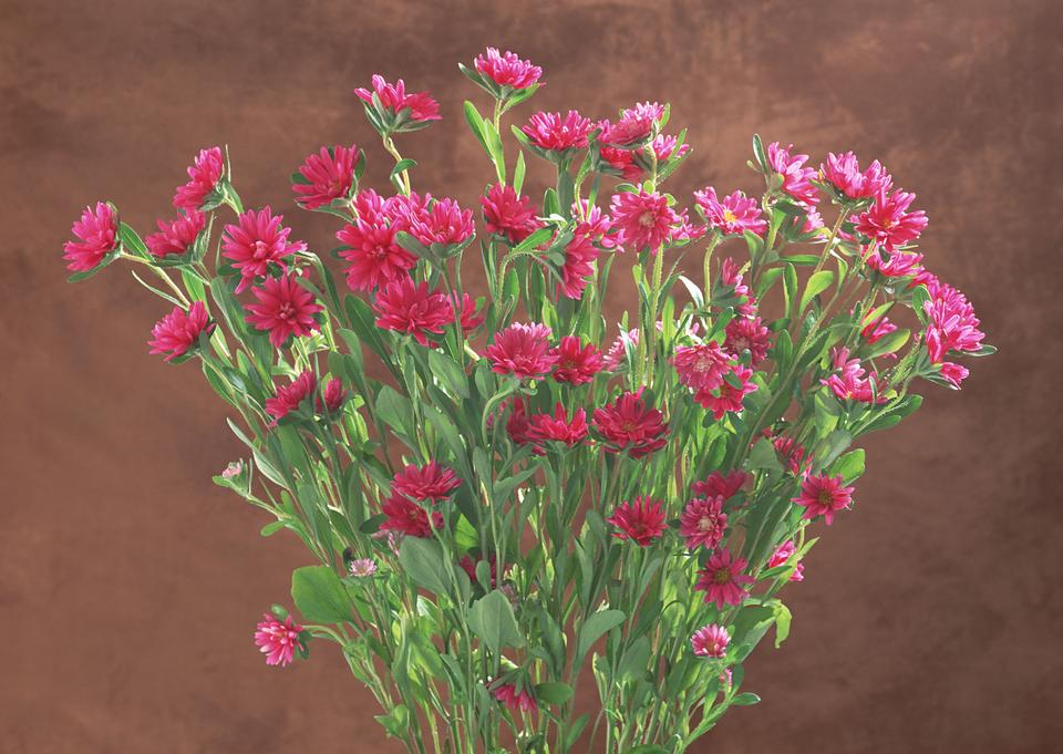 Pink Gerber flowers isolated