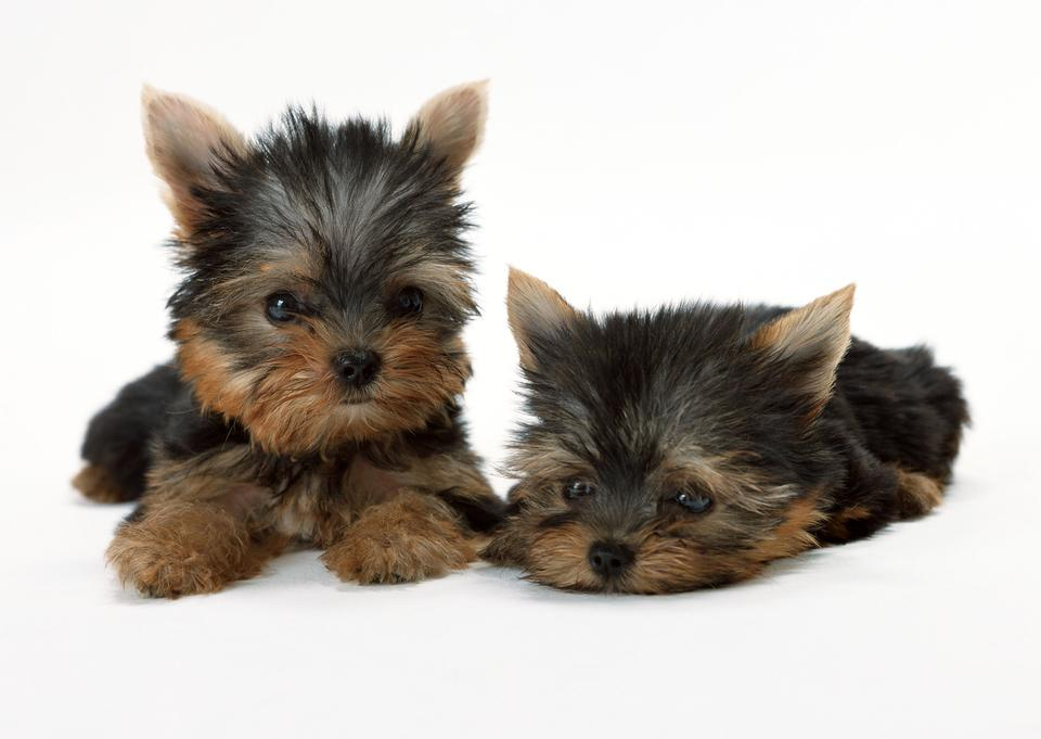 Two puppies of the Yorkshire terrier