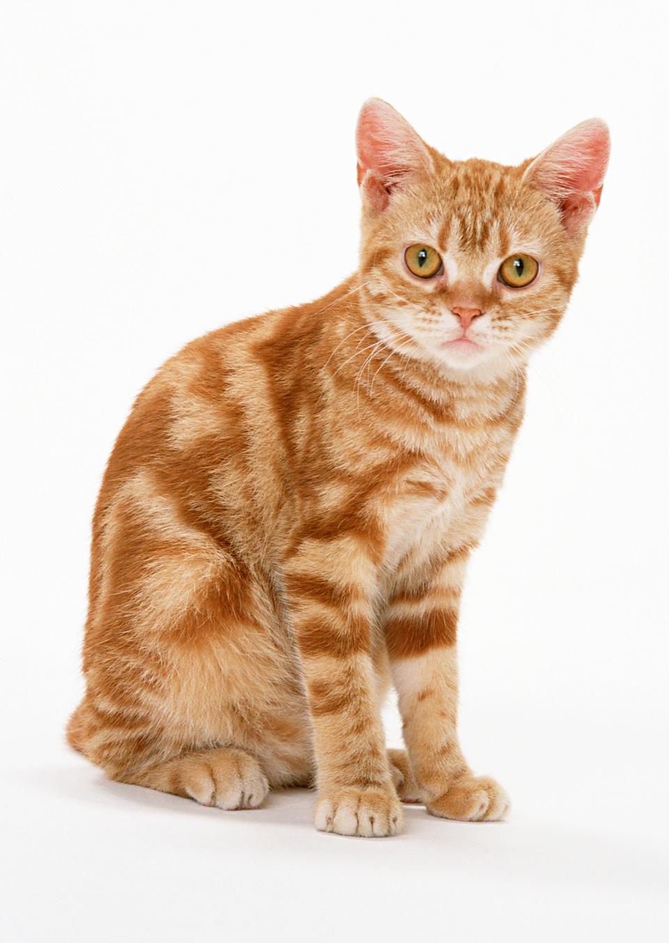 孤立した背景の上の赤い小さな猫