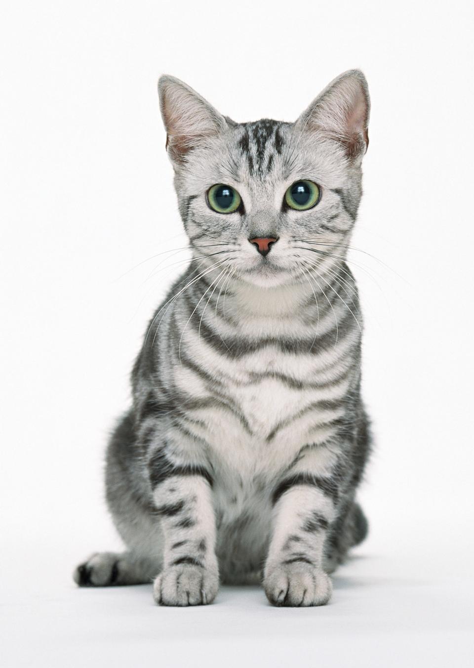 Bellissimo gatto su sfondo bianco