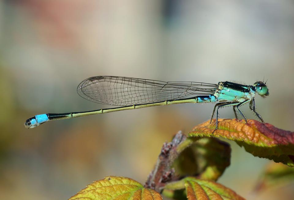 Blu Tailed Damselfly