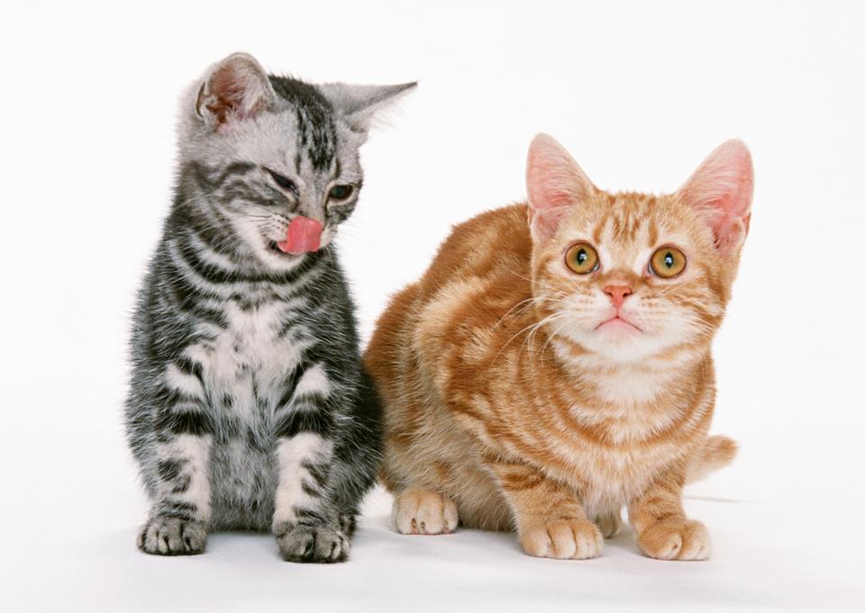两个小坐短毛猫小猫