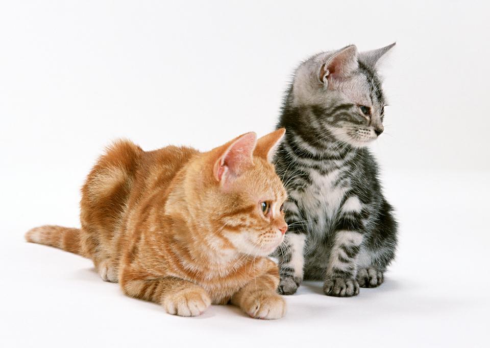 Two little sitting shorthair kittens cat