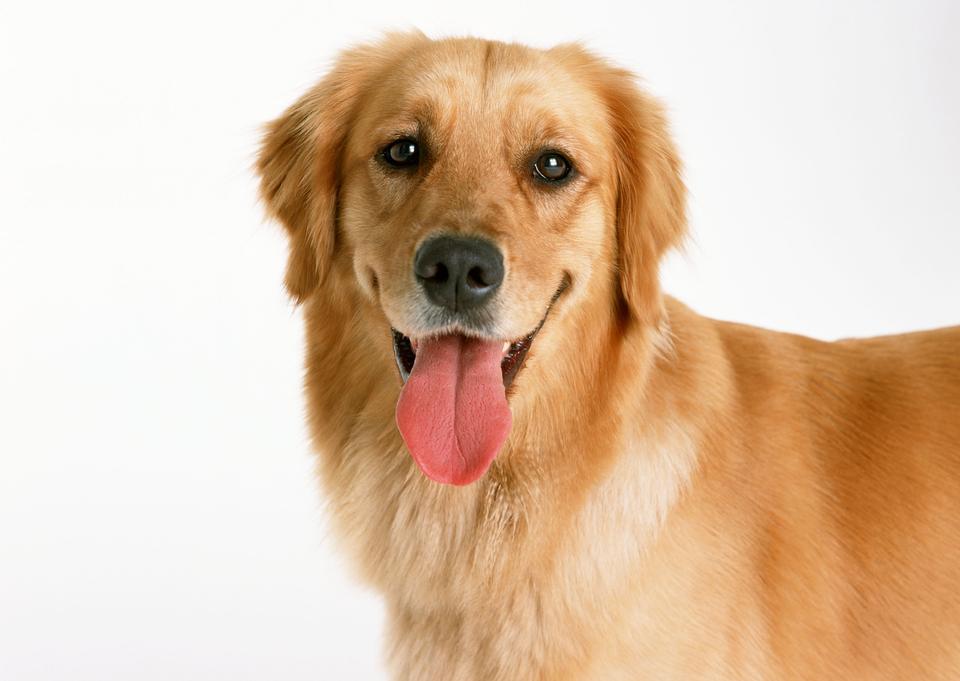 Красивая золотистый ретривер собака