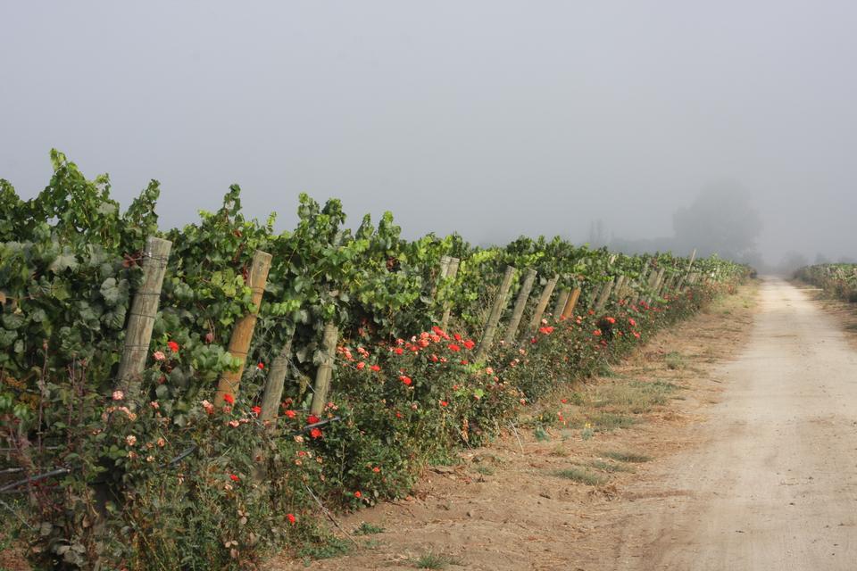 uvas em um vinyard