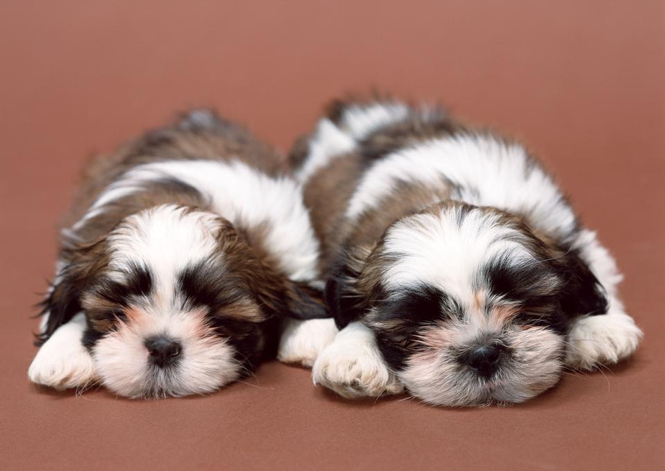 二つのかわいいビションのハバニーズの子犬