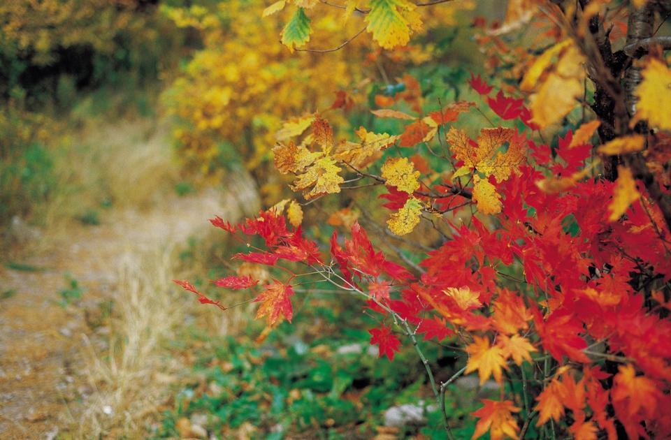 秋着色foilage葉