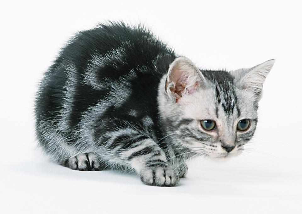 silver grey tabby cat