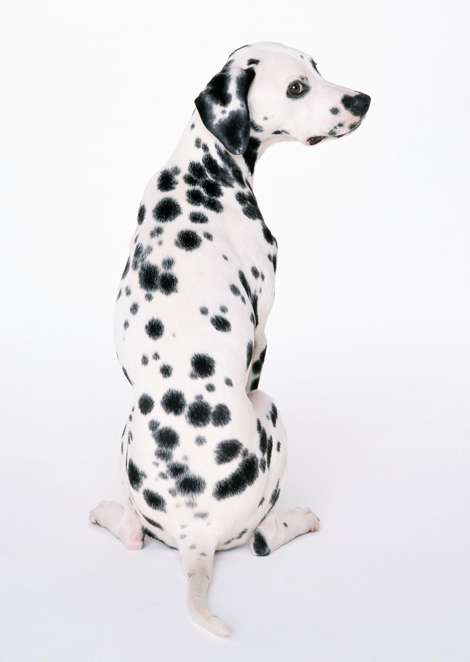 chien dalmatien assis