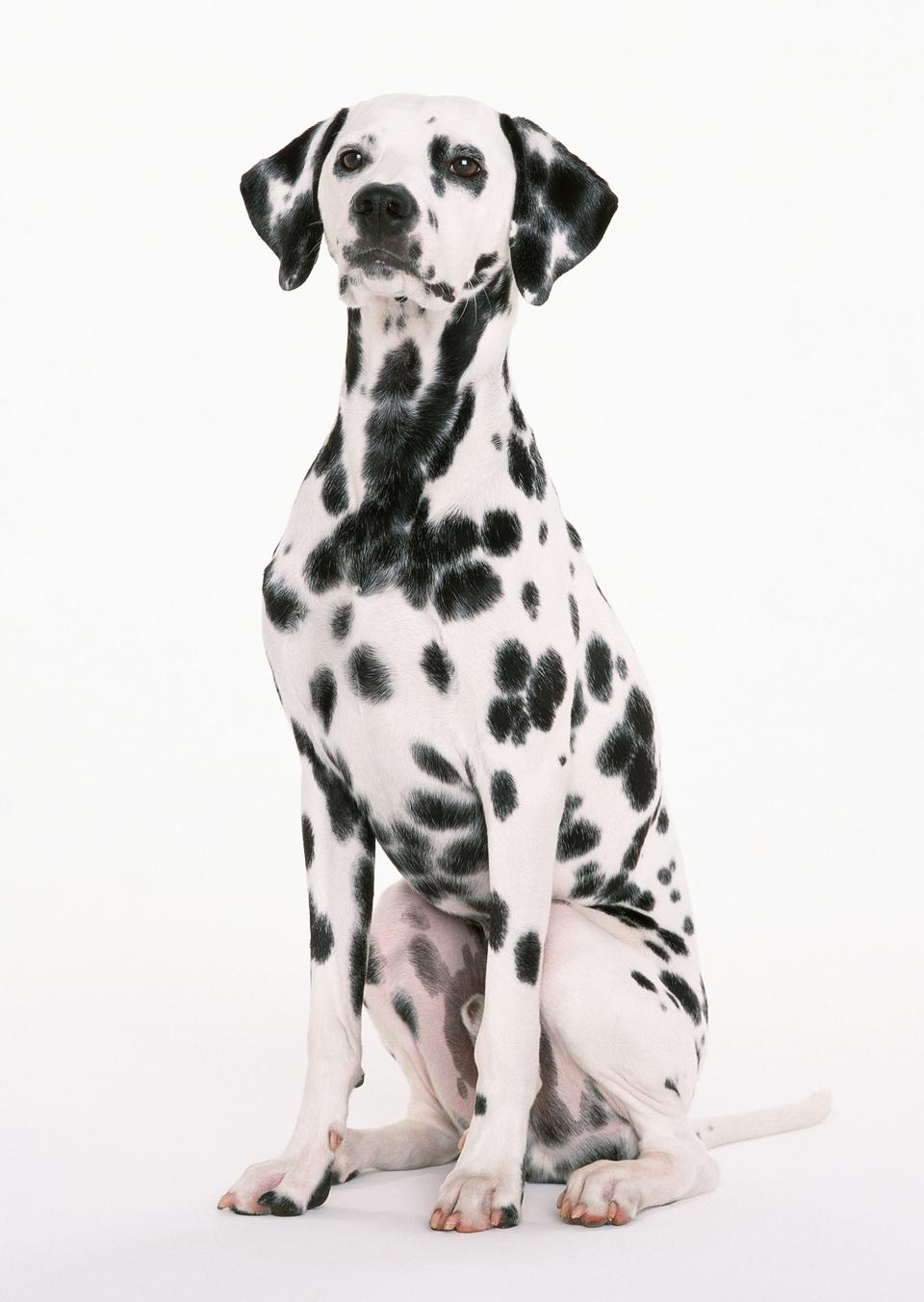 далматин собака, сидящая