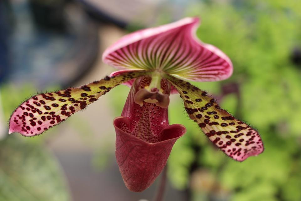 Beautiful paphiopedilum orchid flowers in garden
