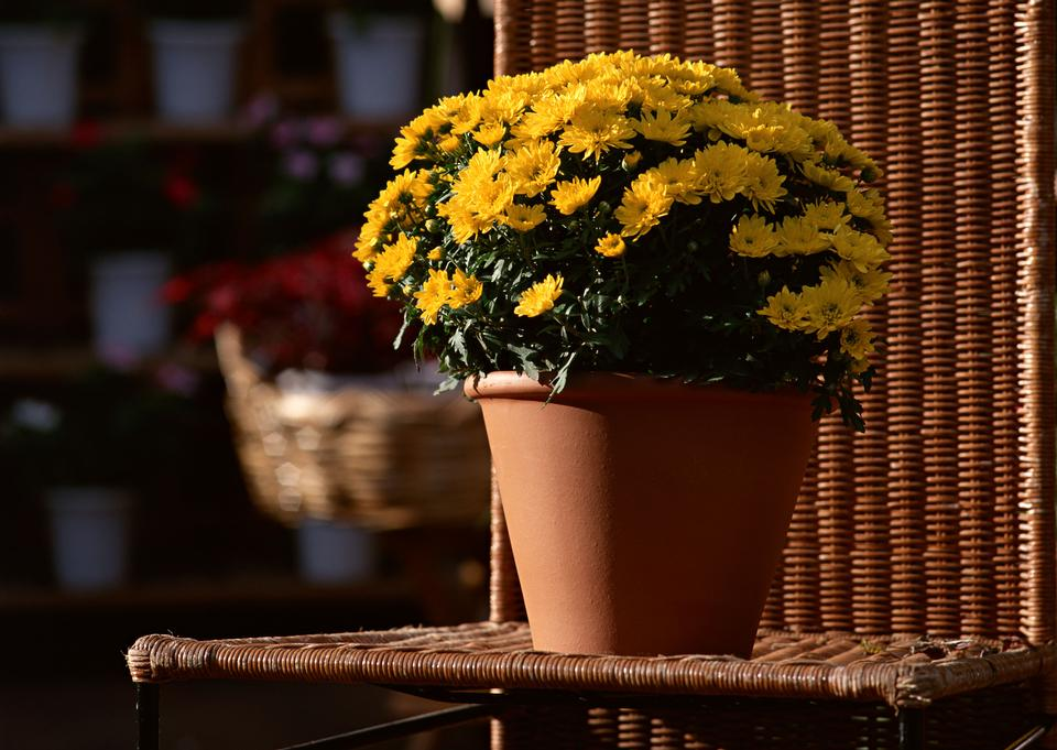 Yellow daisy flowers in pot on chair,