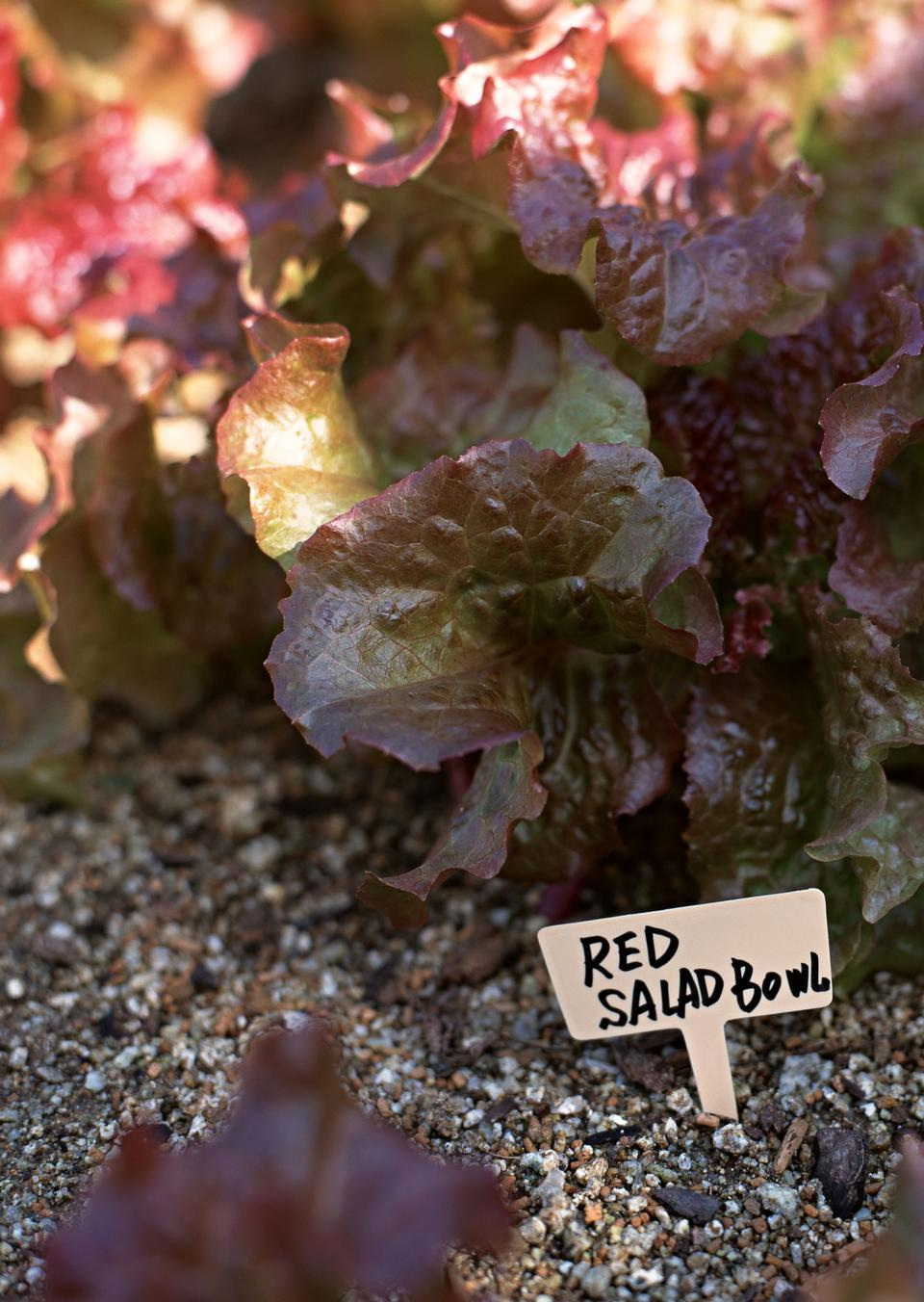 Red lettuce in garden