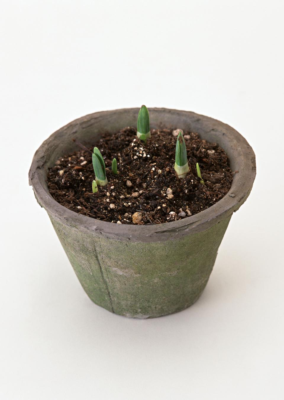 地面に小さな緑の苗