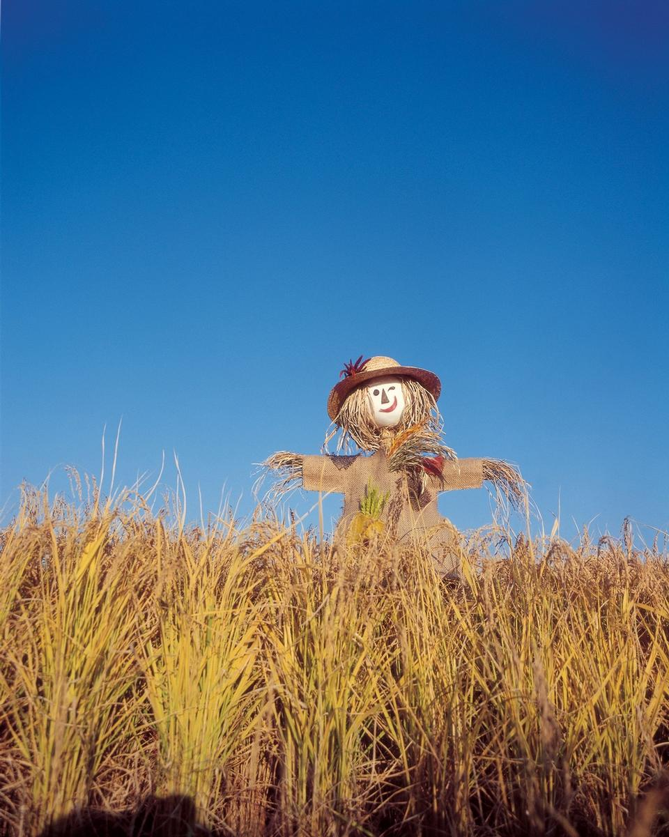 Scarecrow in green rice fields