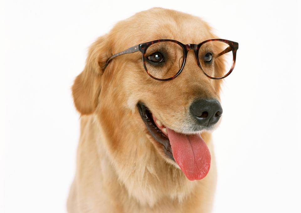 Teckel avec des lunettes