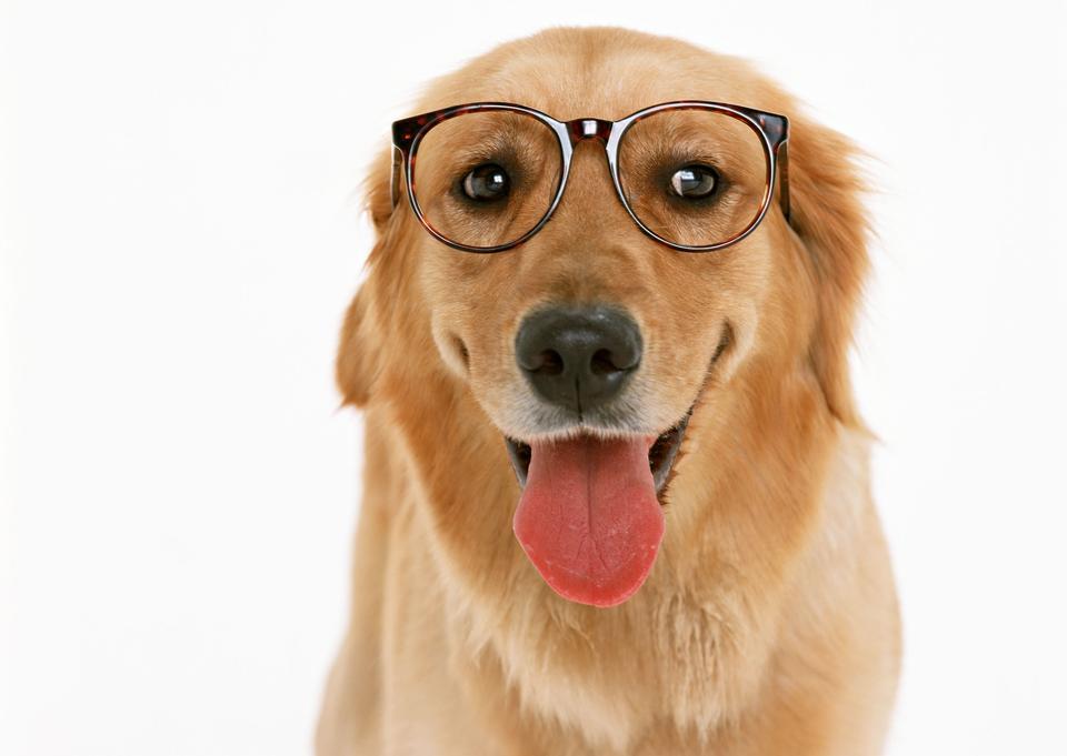 Dachshund with eyeglasses