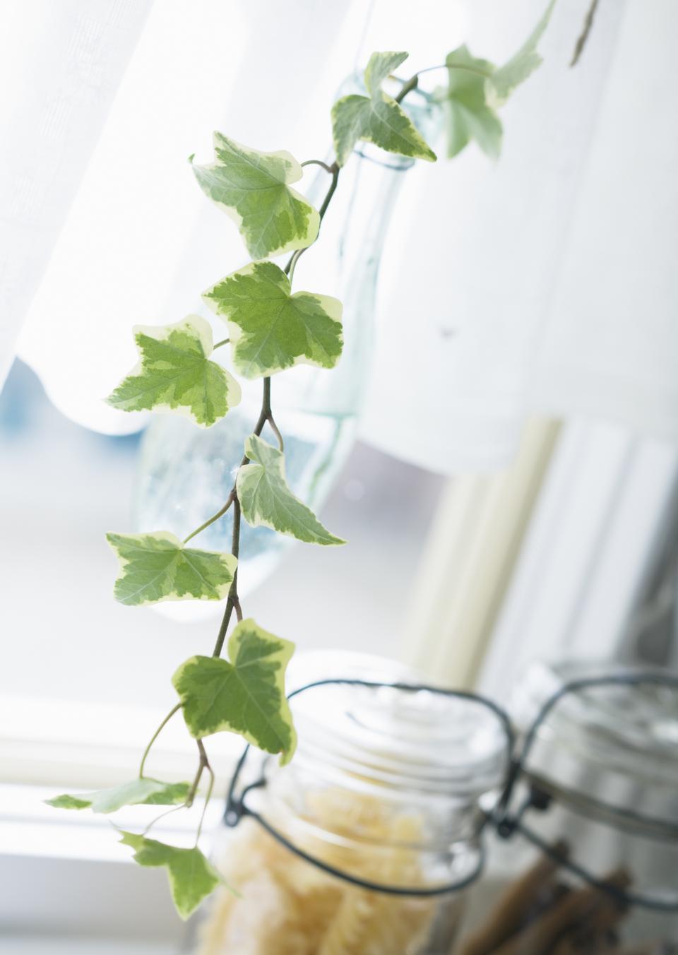 在厨房的窗户分支常春藤图片