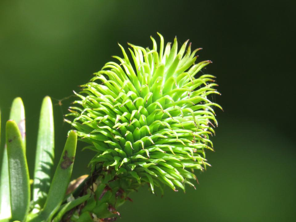 Wollemi pine tree with young cones detail