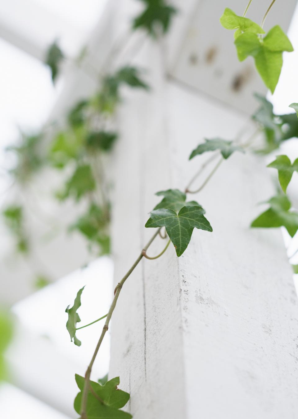 ivy on wood - Background