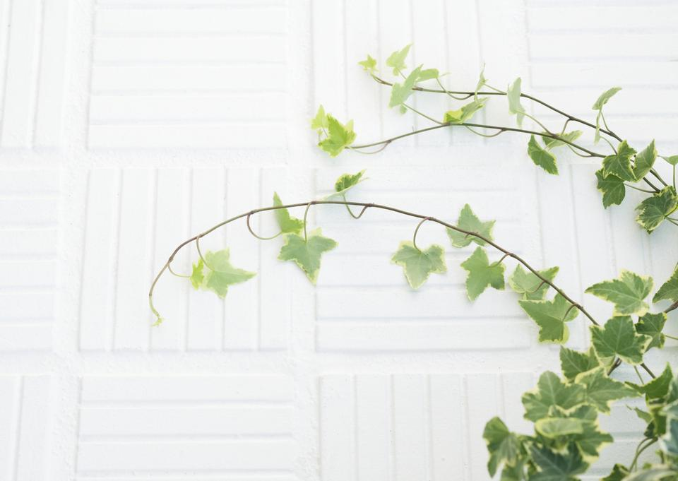 Grünes Efeublatt