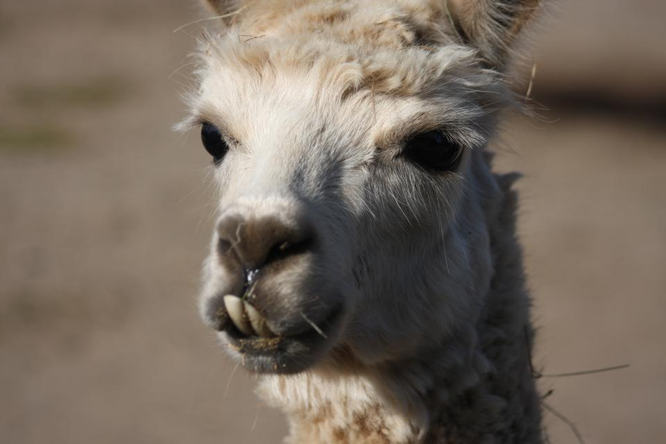 南美白骆驼