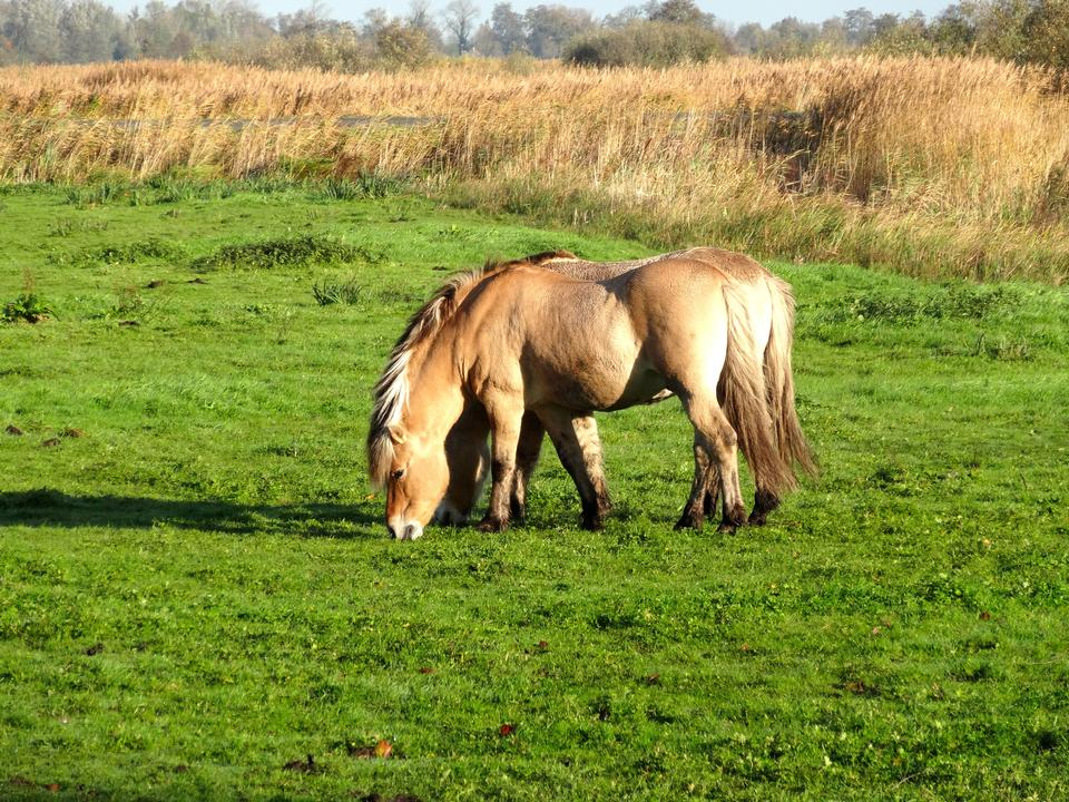 Dos pequeños ponis pintados de pie cerca