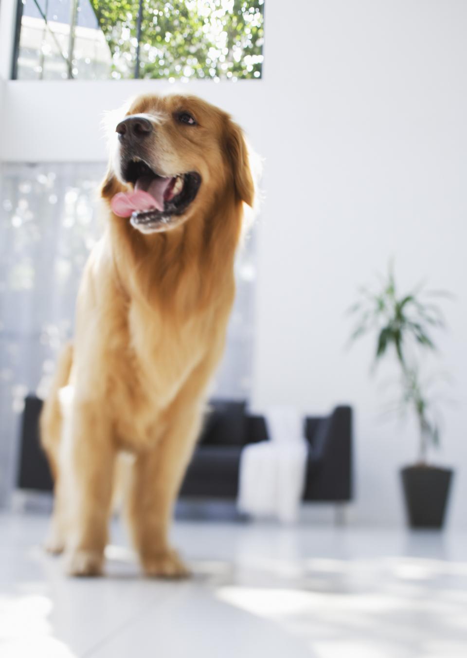 リビングルームの犬