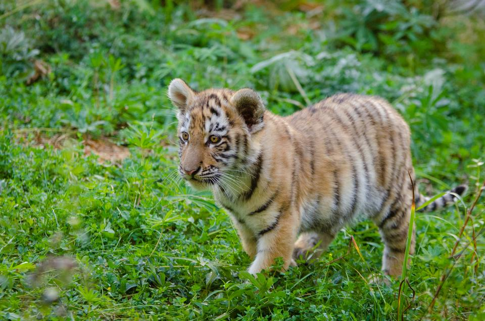 niedliche sibirischer Tiger Cub