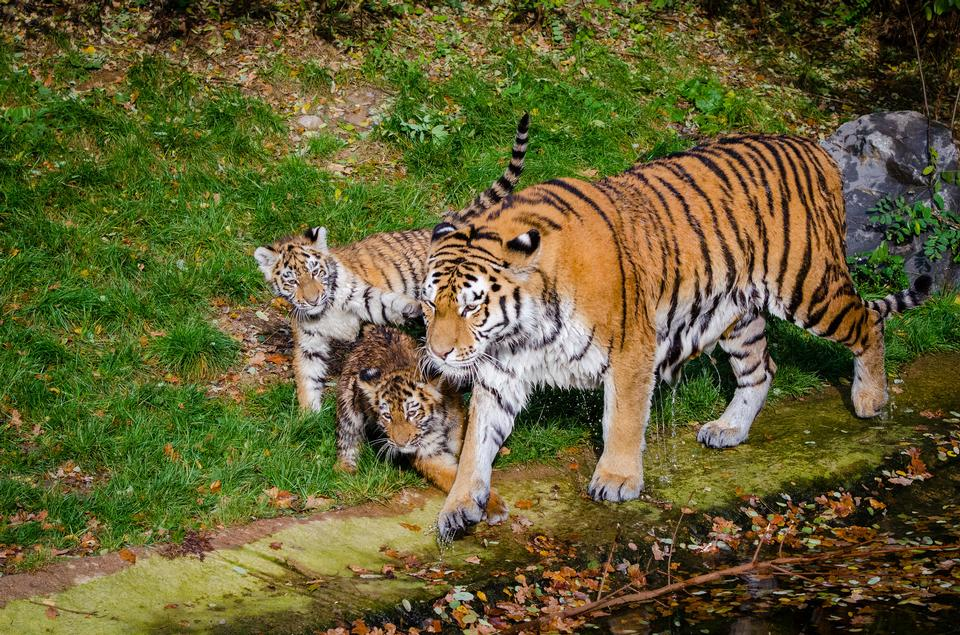 A family of tigers