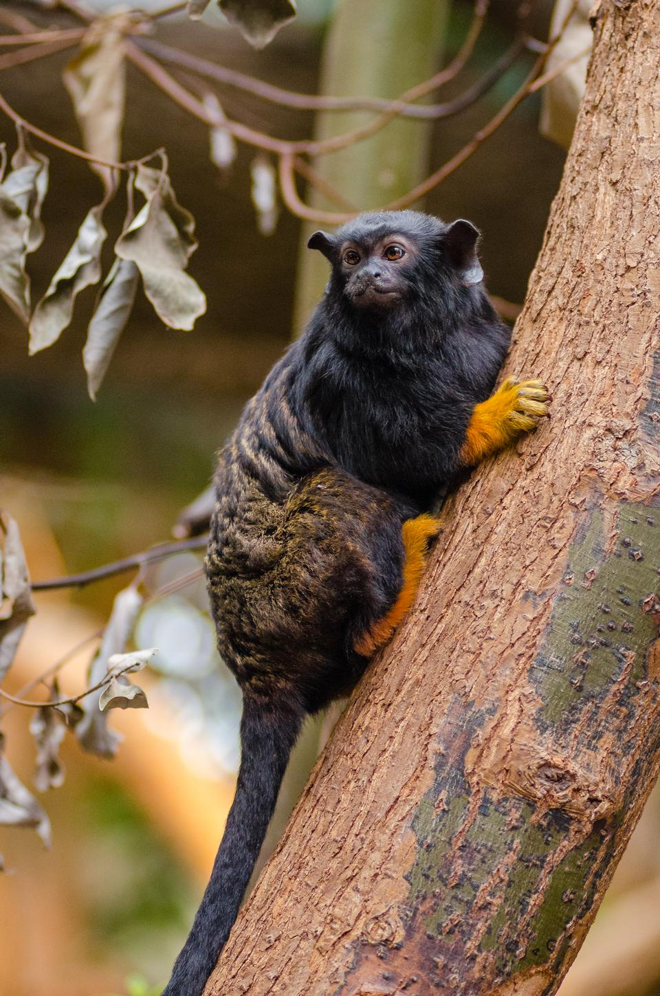 Red Handed Tamarin Monkey in the park, endanger species