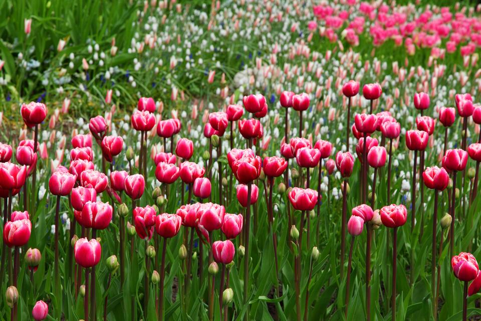 Beautiful bouquet of tulips. colorful tulips
