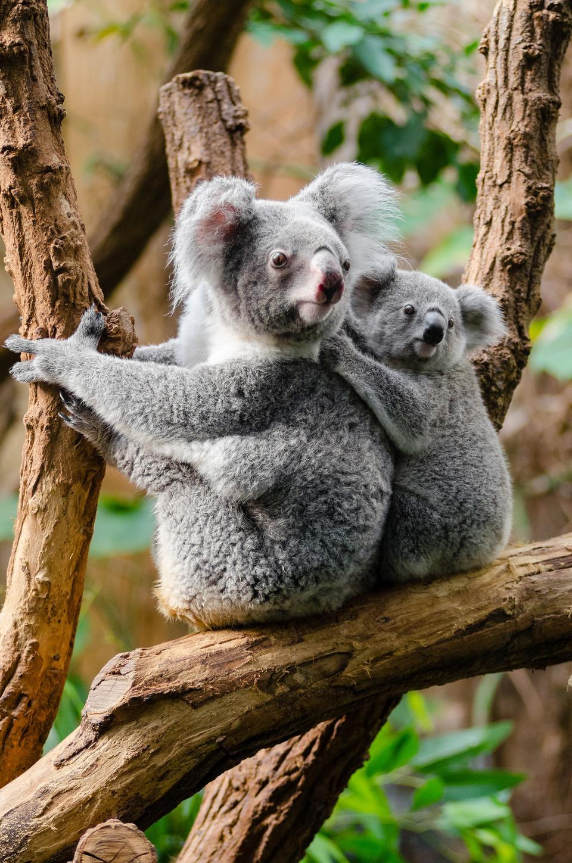 Koala mit einem Jungtier Australien
